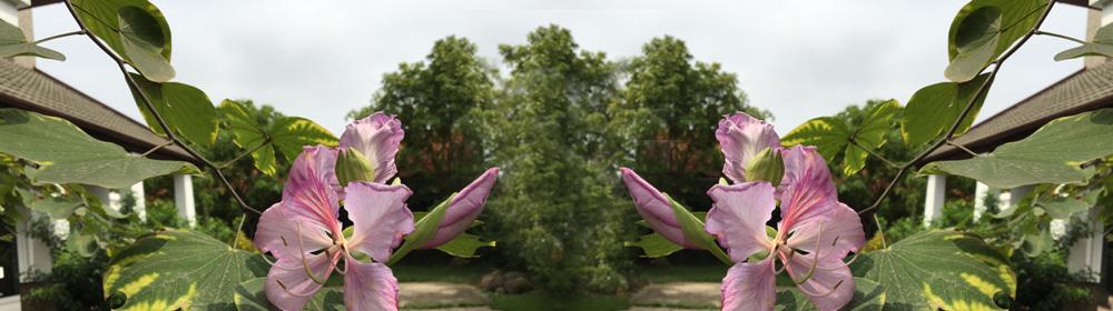 Hoa ban